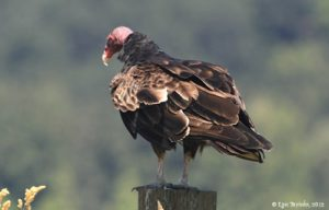RNWR_turkey_vulture_08-24-12 Lyn Topinka