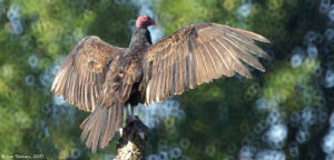 ridgefield_NWR_turkey_vulture_wings_08-11-07_LynTopinka