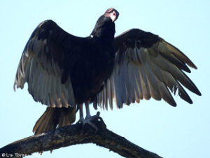 ridgefield_NWR_turkey_vulture_wings_lower_08-11-07_LynTopinka